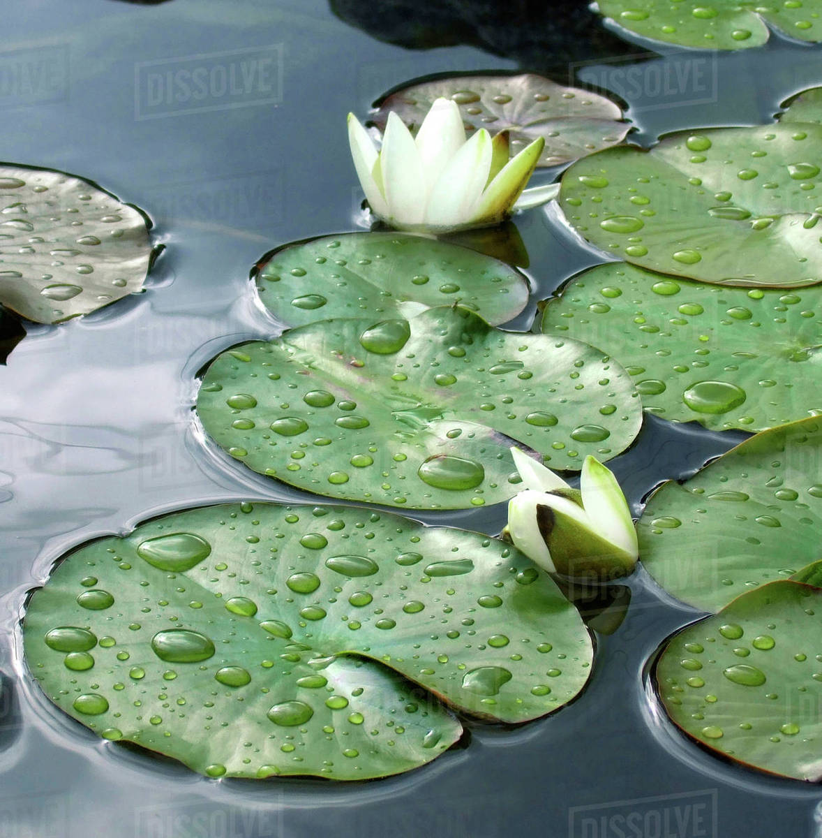 Water Lily Pond Stock Photo Dissolve