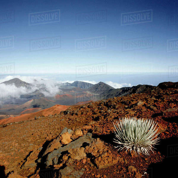 Silversword on Haleakala Crater  Rim from near Visitor center Royalty-free stock photo