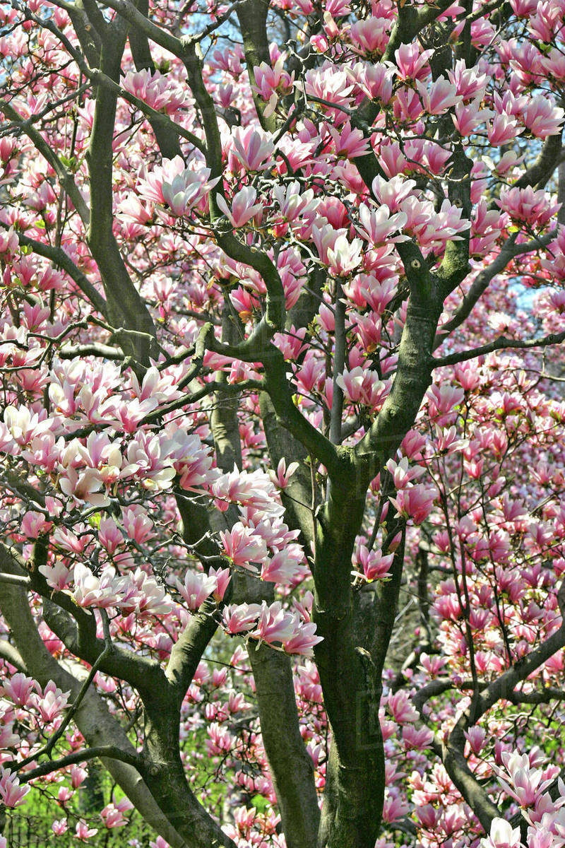 Magnolia Tree In Bloom Central Park New York City Stock Photo
