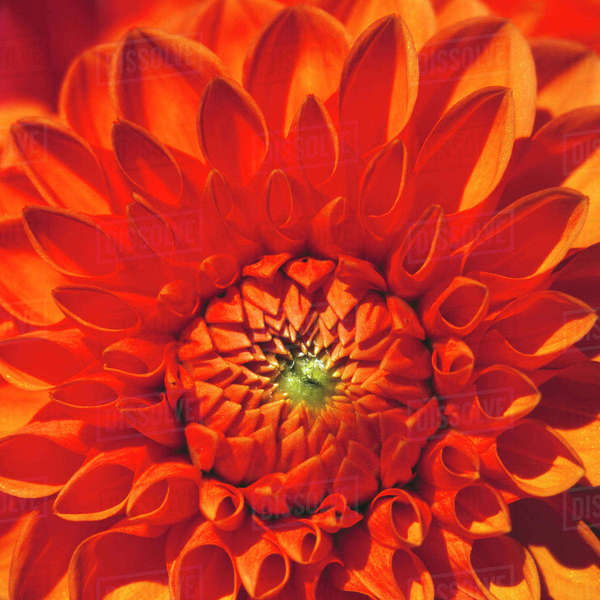 USA, Oregon, Bend. An orange dahlia bursts with color in the Bend area, Oregon. Royalty-free stock photo