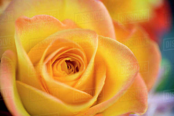USA, Oregon, Bend. A close-up of a yellow rose reveals delicate pink petal tips in Bend, Oregon. Royalty-free stock photo
