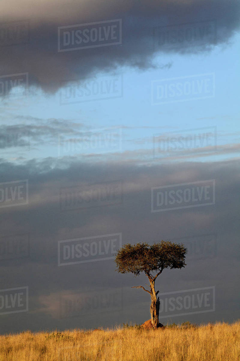 Single Umbrella Thorn Acacia Tree At Sunset Acacia Tortilis Masai