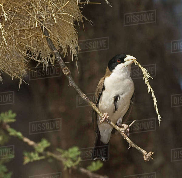 Kenya. Black-capped social weaver bird with nesting material in beak. Rights-managed stock photo
