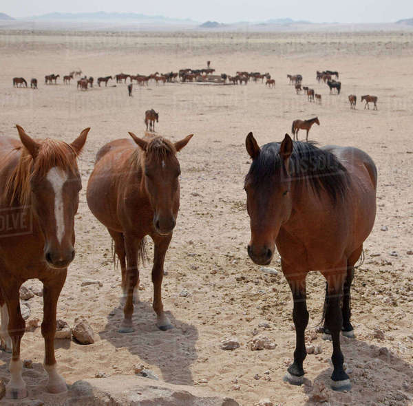 Namibia, Garub. Herd of feral horses. Rights-managed stock photo