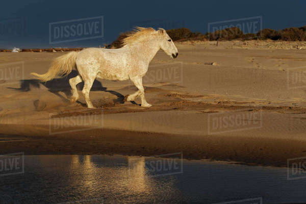 Camargue horses and reflection, southern France Rights-managed stock photo