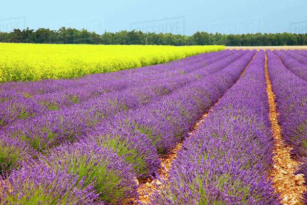 Lavender and mustard fields near Valensole, Provence, France. Rights-managed stock photo