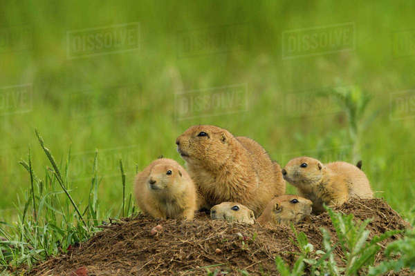USA, Colorado, Rocky Mountain Arsenal National Wildlife Refuge. Prairie dog family on den mound. Rights-managed stock photo