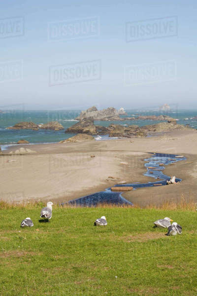 Oregon, Oregon Coast, Harris Beach State Park, Harris Beach, Seagulls and Seastacks Rights-managed stock photo