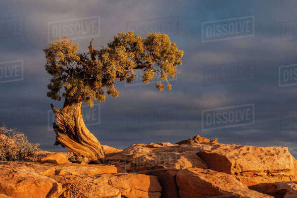 USA, Utah, Dead Horse Point State Park. Sunrise on juniper tree. Rights-managed stock photo