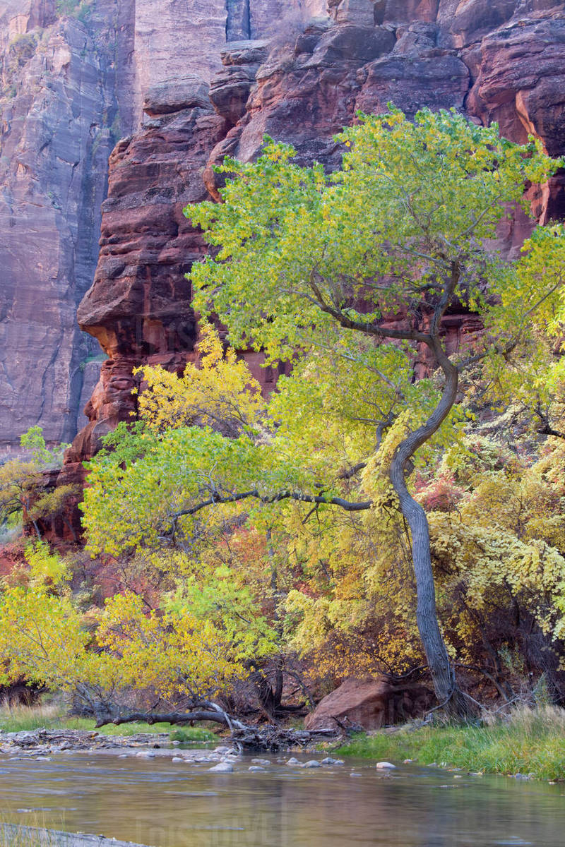 UT, Zion National Park, Zion Canyon, Cottonwood trees, along the Virgin  River