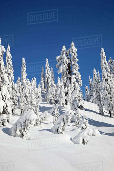 WA, Mount Baker-Snoqualmie National Forest, Snow Ghosts, snow-covered fir trees Rights-managed stock photo