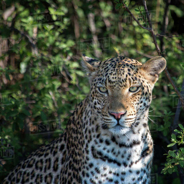 Leopard portrait, close up Rights-managed stock photo