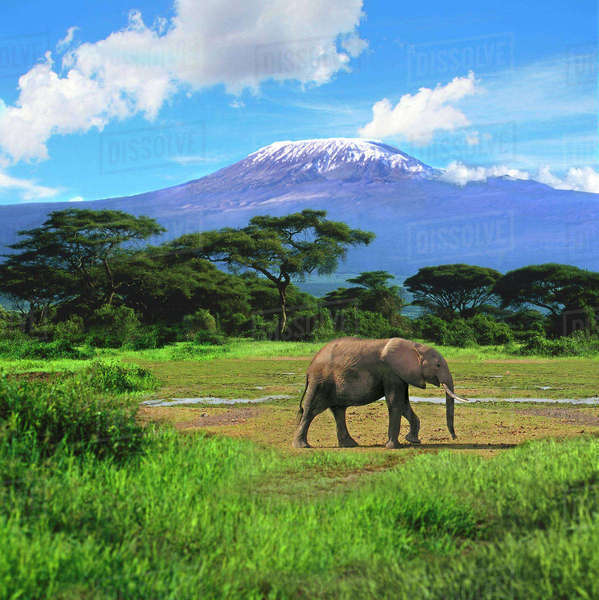 A lone African elephant (Loxodonta africana) walks in from of Mt. Kilimanjaro in Amboseli National Park, Kenya Rights-managed stock photo