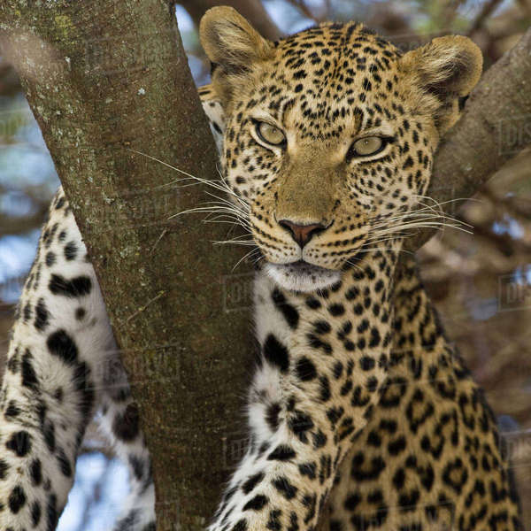 Africa. Tanzania. Leopard in tree at Serengeti National Park. Rights-managed stock photo