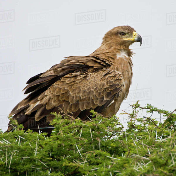 Africa. Tanzania. Tawny Eagle at Ndutu in the Ngorongoro Conservation Area. Rights-managed stock photo