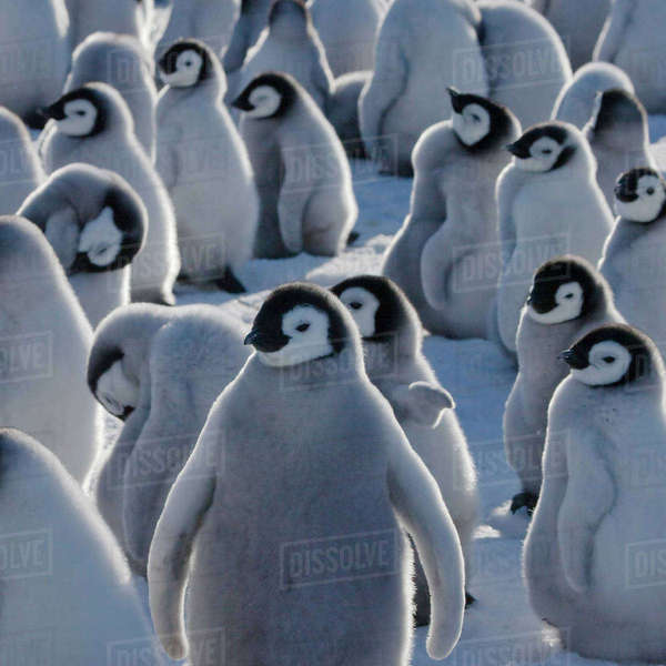 Emperor Penguin (Aptenodytes forsteri) chicks on ice, Snow Hill Island, Antarctica Rights-managed stock photo