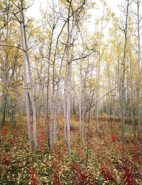Canada, Yukon Territory, Aspen (Populus tremuloides) and fireweed (Epilobium angustifolium) in autumn, foggy morning near Teslin Lake. Rights-managed stock photo