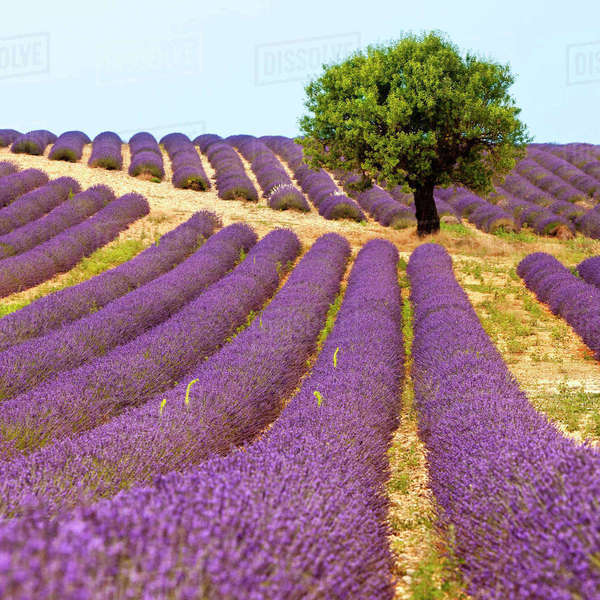 Lone tree in fields of lavender near Valensole, Provence, France. Rights-managed stock photo