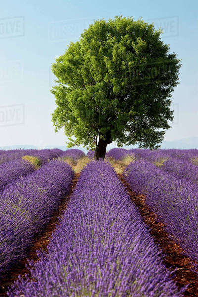 Colorful lavender fields along the Valensole Plateau, Provence, France. Rights-managed stock photo