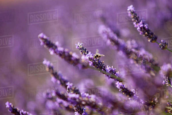 The ubiquitous honey bee in the lavender fields near Valensole, Provence, France. Rights-managed stock photo