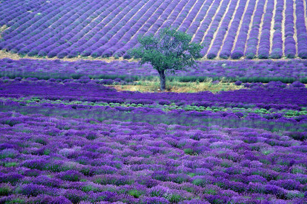 Lavender fields, Vence, Provence, France Rights-managed stock photo