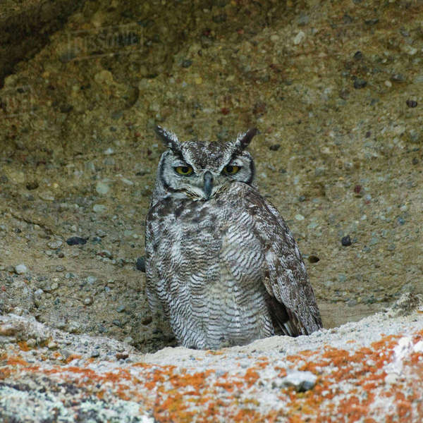 Magellanic Horned Owl, (Bubo magellanicus) in Walichu Caves, El Calafate, Patagonia, Argentina Rights-managed stock photo
