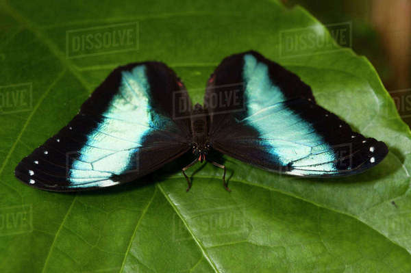 Achilles Morpho Butterfly (Morpho achilles), Napo River bordering Yasuni National Park, Amazon Rainforest, Ecuador Rights-managed stock photo