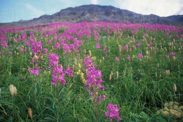 Fireweed, Epilobium angustifolium, wildflowers blooming in a field at Exit Glacier, Kenai Peninsula, southcentral Alaska Rights-managed stock photo