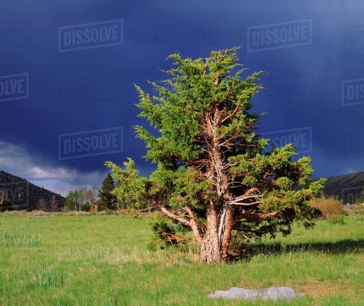 Image result for Juniper trees