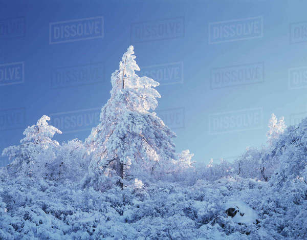 California, Cleveland National Forest, Laguna Mountains, A snow-covered pine tree (Pinus) in the forest. Rights-managed stock photo