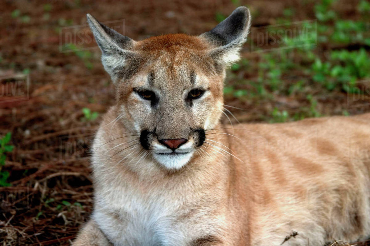 633e98e205f USA, Florida panther (Felis concolor) is also known as puma or cougar.  Captive