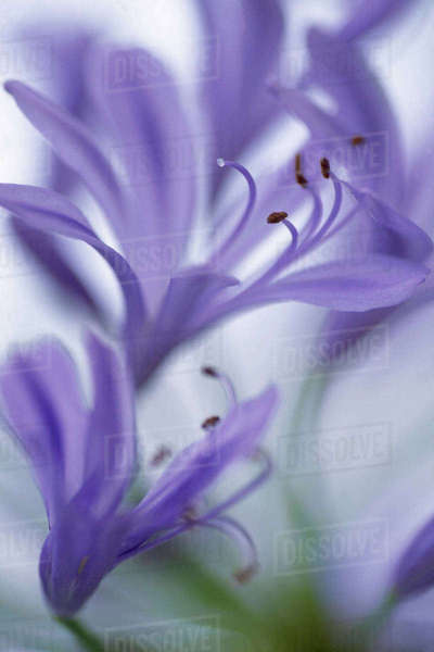 USA, Massachusetts, Martha's Vineyard. Detail of agapanthus flower. Rights-managed stock photo