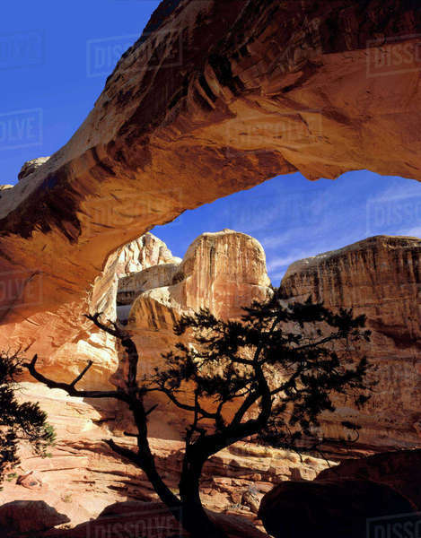 Capitol Reef National Park, Utah. USA. Pinyon pine below Hickman Bridge. Rights-managed stock photo