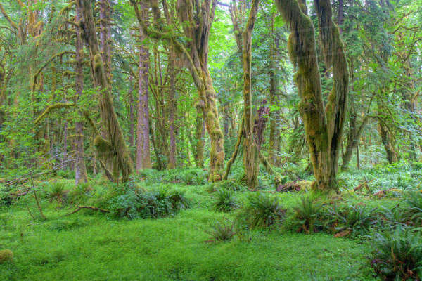 Moss covered trees, Quinault Rain Forest, Olympic National Park, Washington State, USA Rights-managed stock photo