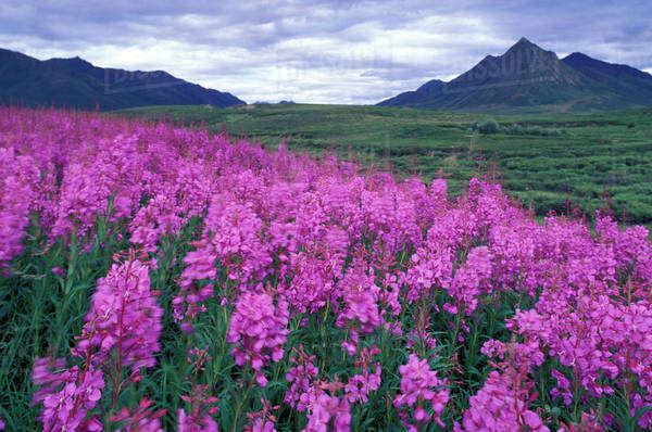 North America, Canada, Yukon. Fireweed blooms at Black Fork Pass in Olgilvie Mountains. Royalty-free stock photo
