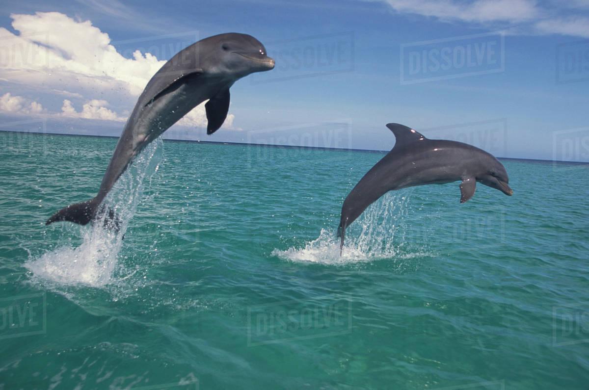 caribbean bottlenose dolphins tursiops truncatus caribbean sea