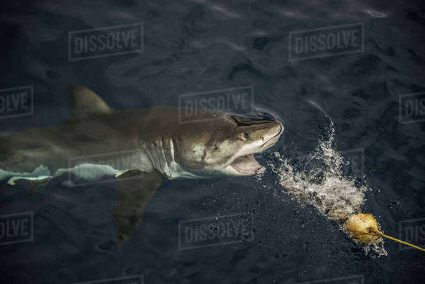 Great shark taking fishing bait, Guadalupe Island, Mexico Royalty-free stock photo
