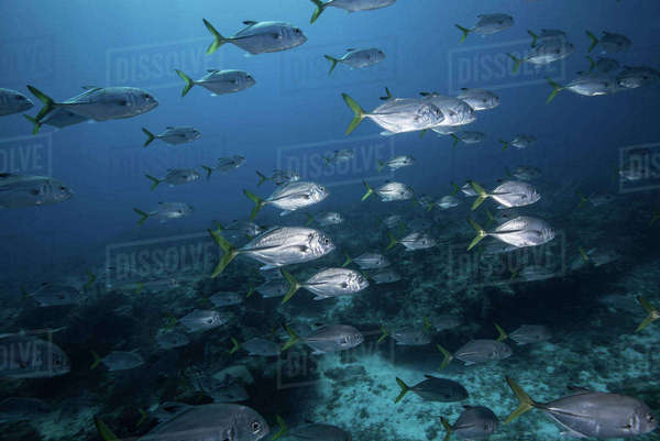 School of juvenile bigeye jacks (caranx latus), Cozumel island, Mexico Royalty-free stock photo