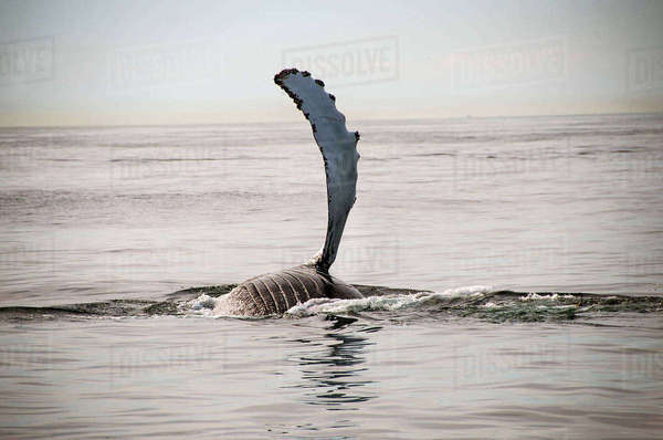 Humpback whale flipper on water surface, Provincetown, Massachusetts, USA Royalty-free stock photo