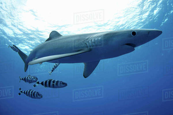Shark and fish swimming underwater Royalty-free stock photo