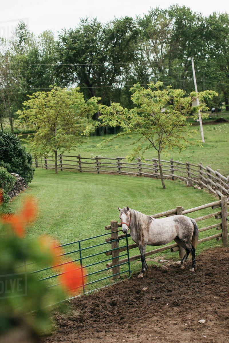 High Angle Portrait Of Dapple Grey Horse Tied To Paddock Fence Stock Photo Dissolve