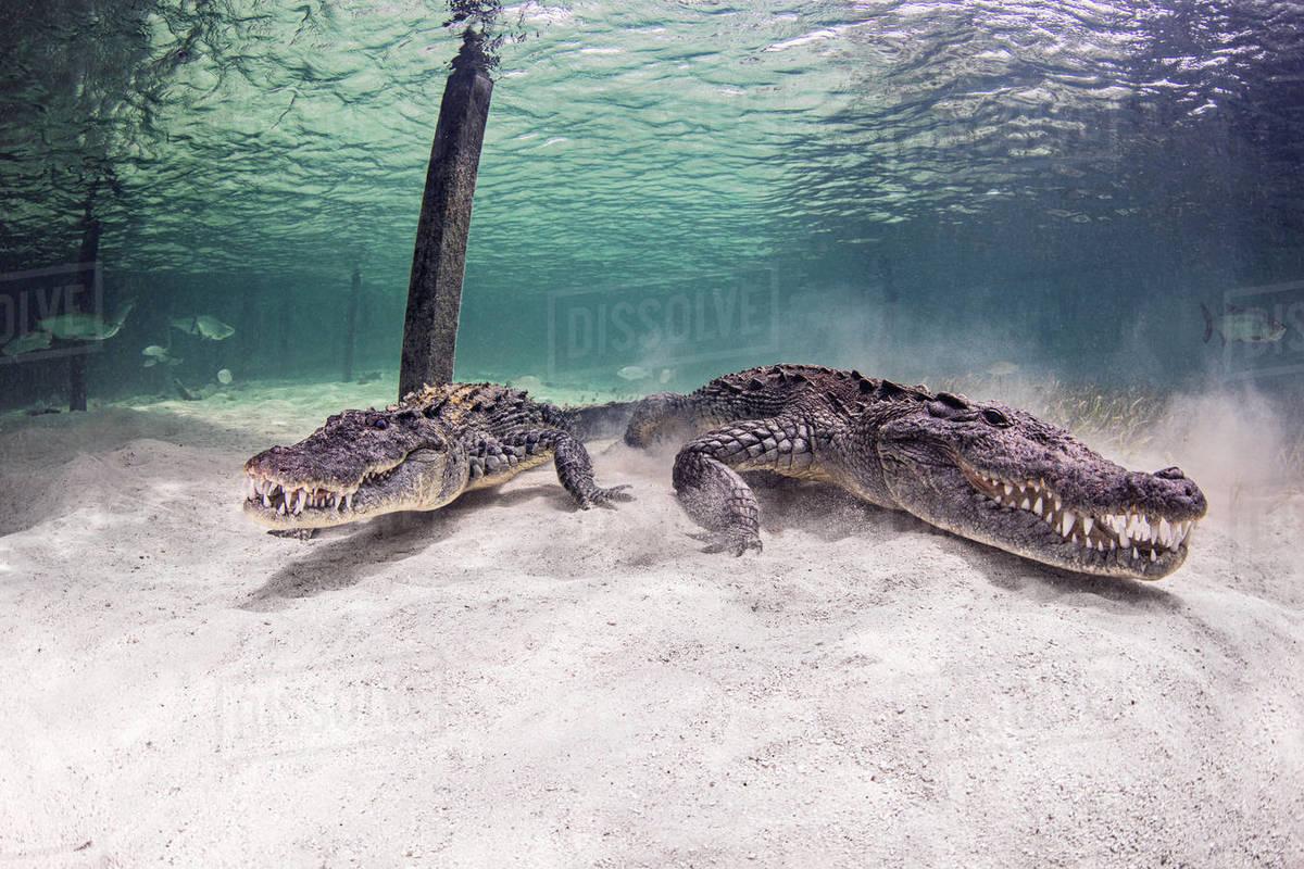 American Crocodiles underwater, Chinchorro Banks, Mexico Royalty-free stock photo