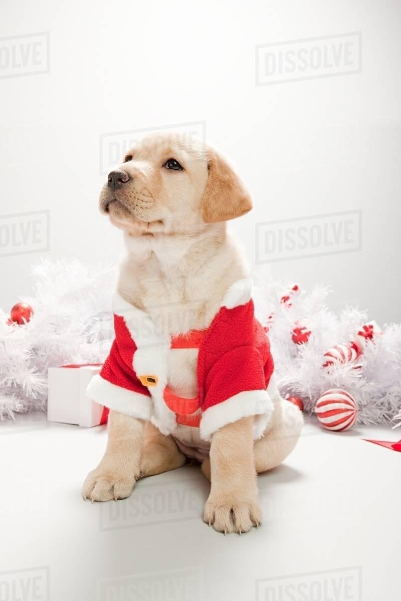 Labrador Puppy In Christmas Costume Stock Photo Dissolve