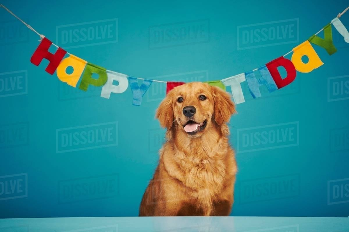 Golden Retriever Sitting In Front Of Happy Birthday Sign Stock