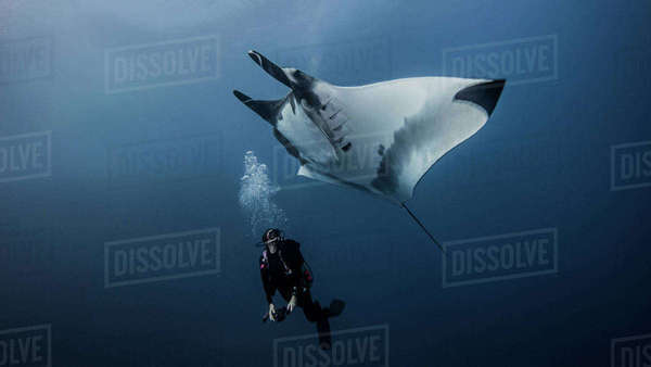 Giant Ocean Manta Ray with scuba diver at Roca Partida Island, Socorro, Mexico Royalty-free stock photo