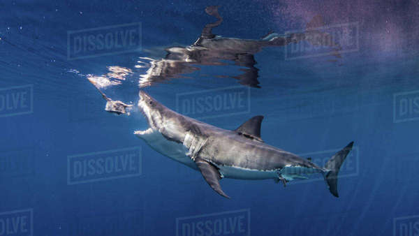 Great white shark biting fishing bait Royalty-free stock photo
