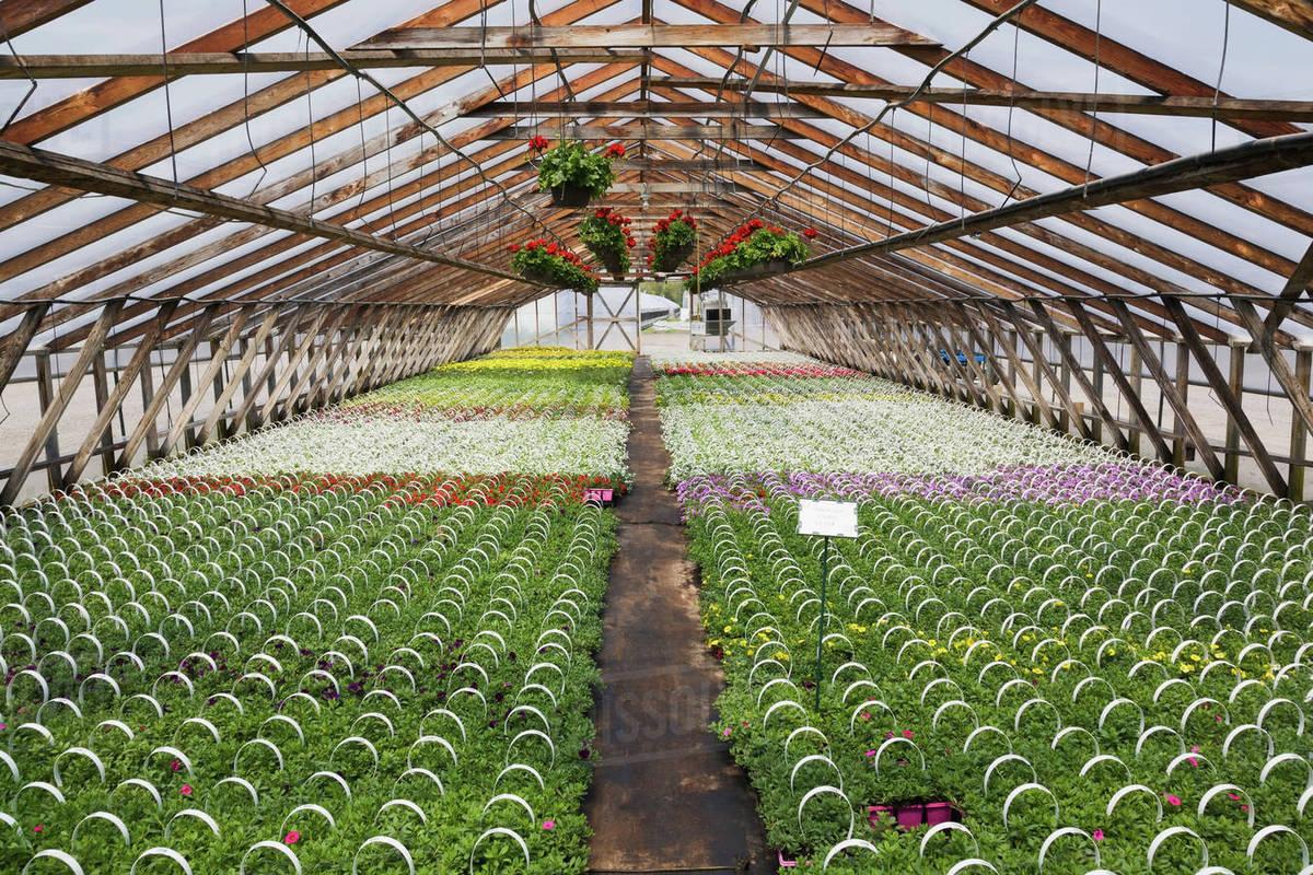 Commercial Greenhouse With Red Pelargonium Geranium Flowers In