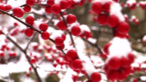 Red winter berries covered in snow Royalty-free stock video