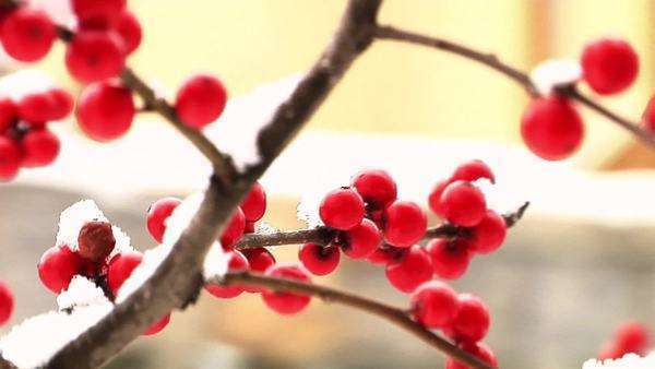 Red winter berries covered with snow Royalty-free stock video