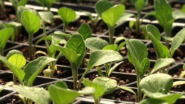 Young salad plants Rights-managed stock video